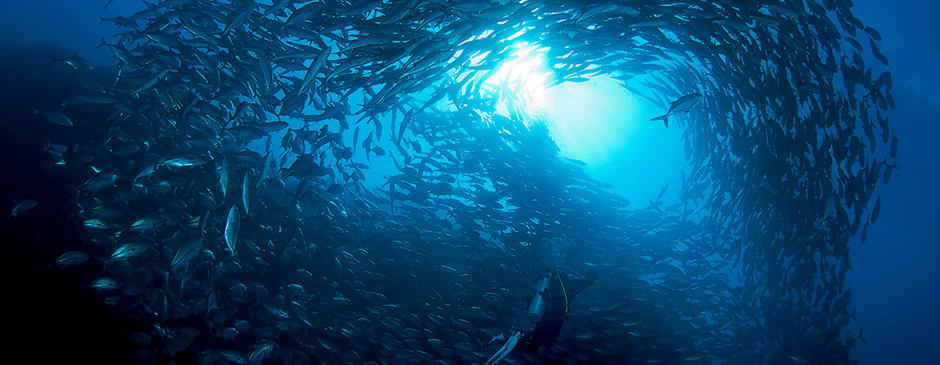 Scuba diver surrounded by a school of Jack Fish or Tuna